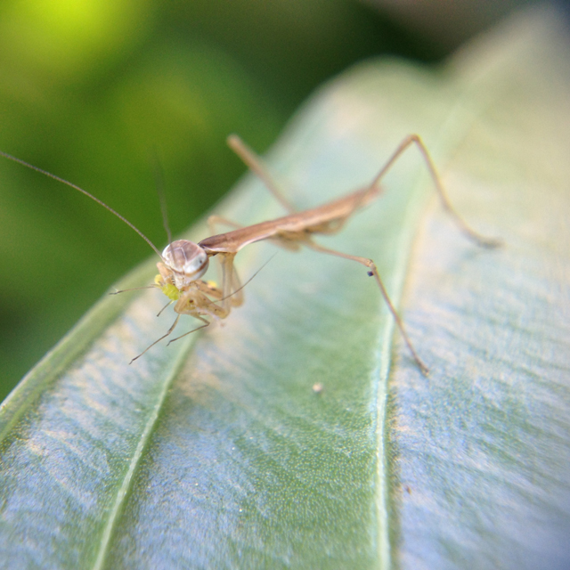 Mantid-aphid