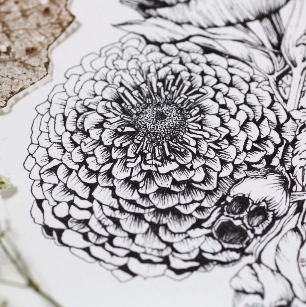 Zinnia flower ink illustration